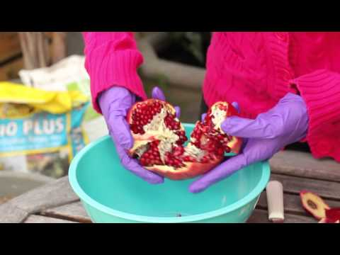 How to Plant Pomegranates From Seeds : Planting the Seed