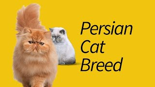Types of Persian Cats—That You've Never Heard!