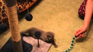 Шотландский вислоухий котенок играет и бегает :)