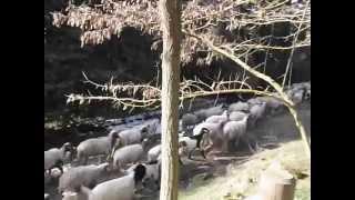 Il fascino del bosco comunale:aria pura,.neve, pastorizia e suoni della natura(video di CARLO CENTO)