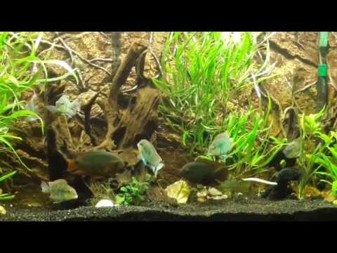 110 gallon South American Cichlid Planted Tank