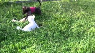 MOKOママとドックガーデンで遊んでたらNIKOが加わり獲物の追いかけ方を...
