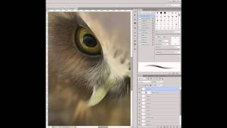 Realistic Morepork Speed Painting in Photoshop