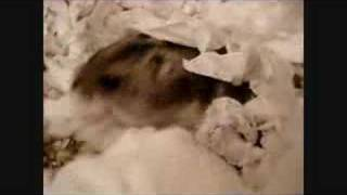http://www.animalloversweb.com Our hamster parents are now on their...