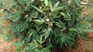 Roselle Hemp & it's uses grown in our backyard!!