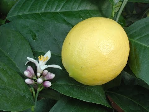 Growing Meyer Lemons in Containers | How to Grow a Lemon Tree
