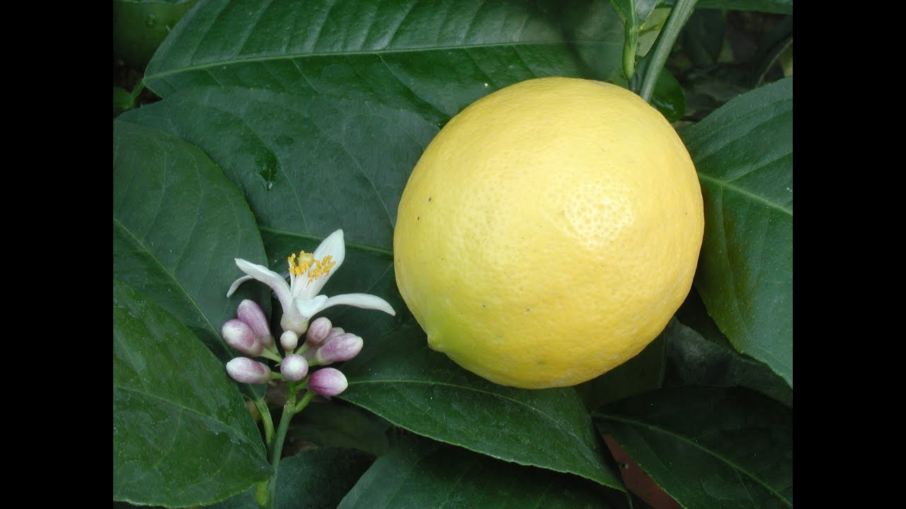 growing meyer lemons in containers how to grow a lemon tree youtube. Black Bedroom Furniture Sets. Home Design Ideas