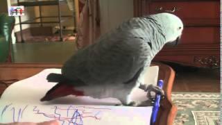 Дрессировка попугая Жако Лили