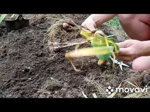 Уборка озимого чеснока, стоит ли завязывать в узел ботву