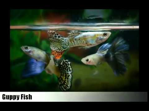 Top 6 Easiest aquarium fish to breeding