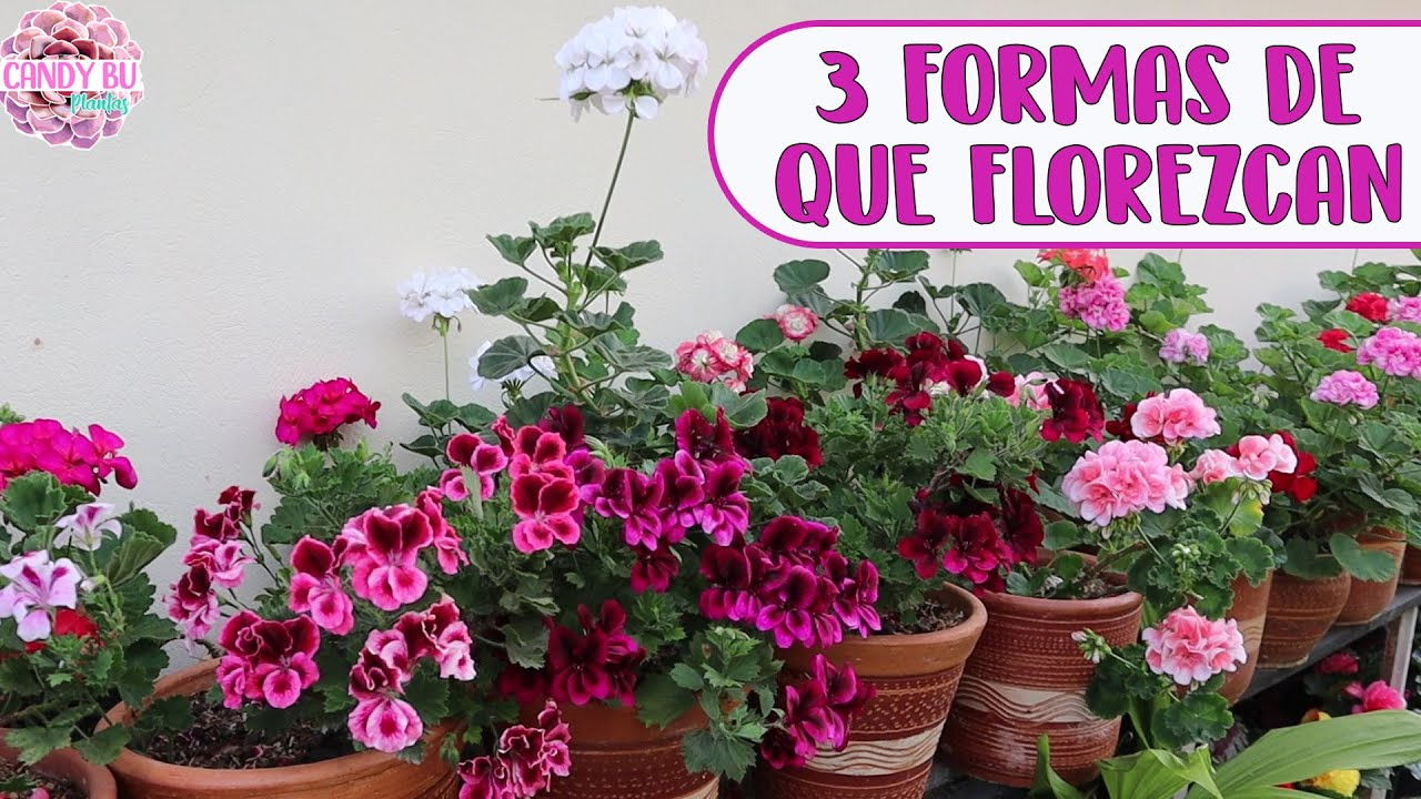 Razones por las que no florecen los GERANIOS, MALVONES, NOVIOS, CARDENALES │Candy Bu