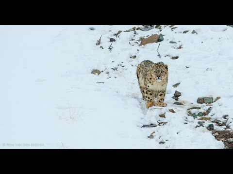 Tusk Photo - Snow Leopards Safari