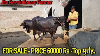 👍FOR SALE: Price-60,000 Rs. - Top MURRAH  -Reasonable Price @ Young Simple Dairy Farmer👍.