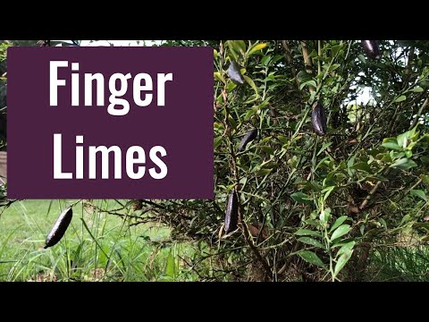 How To Grow Finger Limes