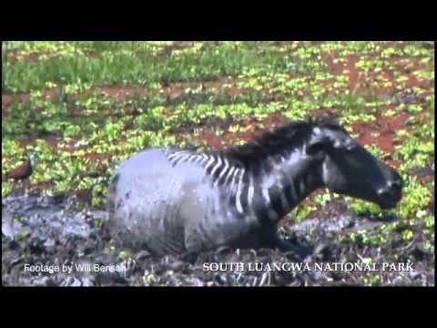 Zebra escape 3 crocodiles in the Luangwa
