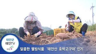 태안TV - 달콤한 웰빙식품 `태안산 호박고구마'…