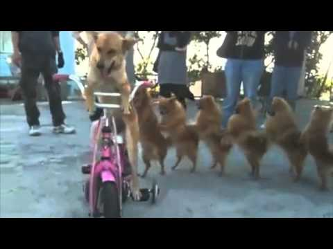 Dogs do the Conga Line with music!