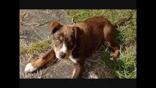 Все породы собак.Австралийский келпи (Australian Kelpie)(Все породы собак.Австралийский келпи (Australian Kelpie) Данная порода собак была выведена в Австралии в 1870 годах...., 2015-02-02T15:19:32.000Z)