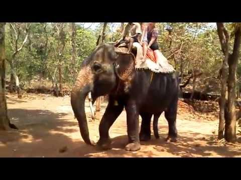 Какой слон крупнее индийский или африканский