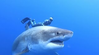 Surprising encounter with 'Deep Blue' shark off Hawaii thumbnail