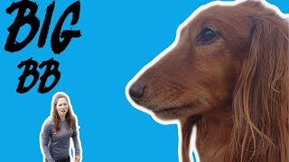 What if BB the dachshund were big?-funny dog video