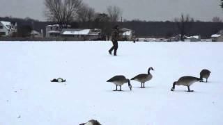 Weimaraner Goose Hunting