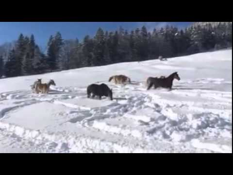 Horses playing in snow like kids... Crazy !