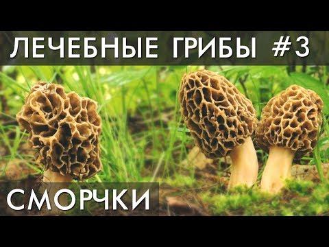 Вопрос: Где в России растёт гриб сморчок?