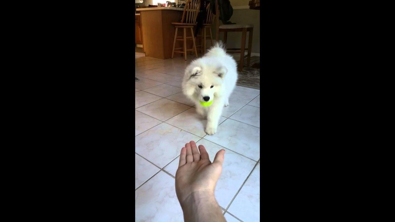 Image result for 犬 samoyed ボールをする