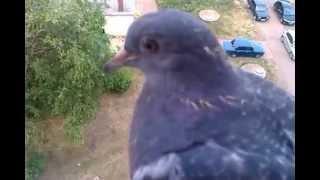 Тупой голубь