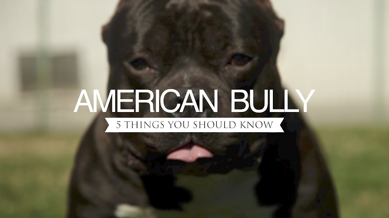 Your Guide To Pocket Pitbulls (& Bullies) - An Inside Look