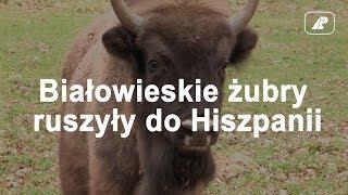 Białowieskie żubry ruszyły do Hiszpanii