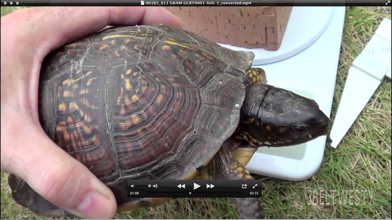 Count growth rings on box turtle gulf coast gcbt also youtube rh