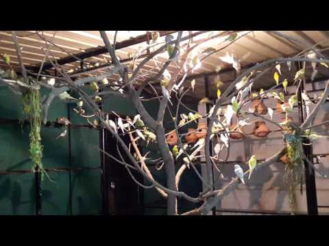 Budgies colony