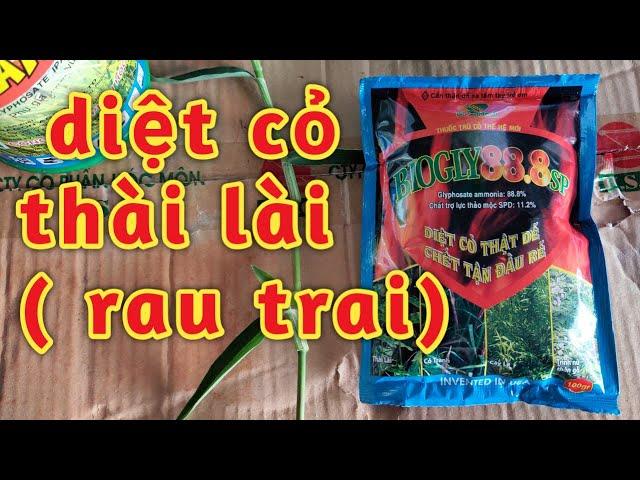 cách diệt cỏ thài lài với thuốc trừ cỏ biogly 888/ thuốc thực vật Hoàng Dương