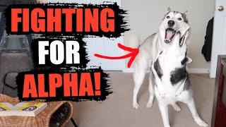 Siberian Huskies BATTLE FOR THE ALPHA POSITION! - (Who Is The Alpha Husky?)