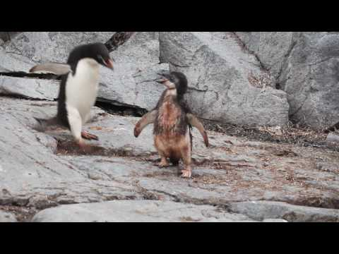 Baby Penguin Doesn't Want Daddy to Leave