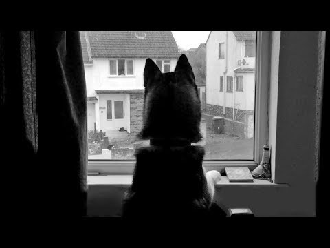 Husky/Malamute Plays Peek-A-Boo With Cats