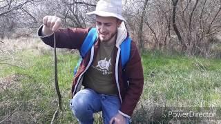 Степная гадюка / Vipera ursinii в Херсонской области