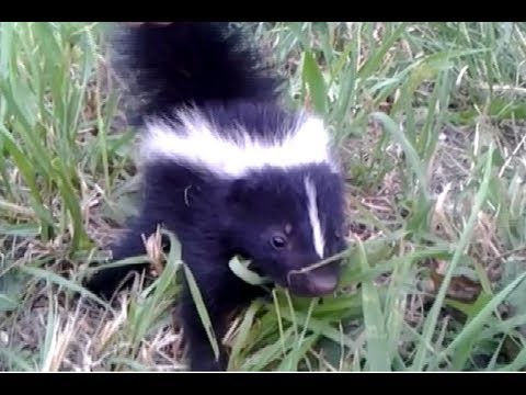Baby Skunk Friend!! (ORIGINAL)