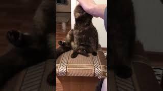 Вислоухая кошка сидит