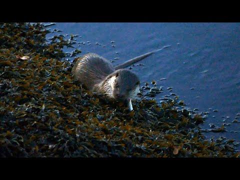 Graban a una londra pescando e comendo no río Lérez