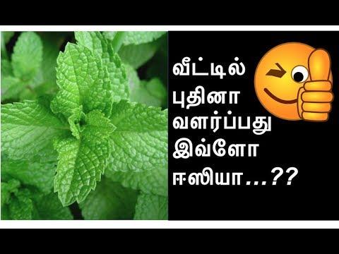 புதினா வளர்ப்பு EASY - HOW TO GROW PUDINA AT HOME| VEETU THOTTAM Tamil