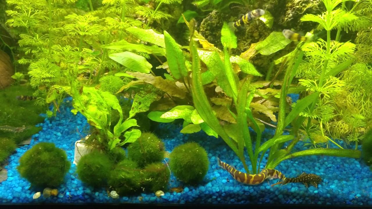 Acuario comunitario plantado con peces globo enanos for Acuario comunitario