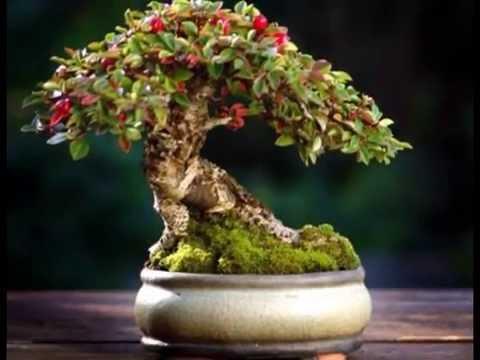 Flowering fukien tea bonsai tree cascade style ehretia flowering fukien tea bonsai tree cascade style ehretia microphylla mightylinksfo