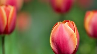 видео как ухаживать за тюльпанами