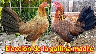 importancia-de-la-gallina-madre