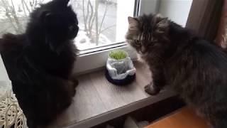 Смешные кошки едят выращенную дома траву)