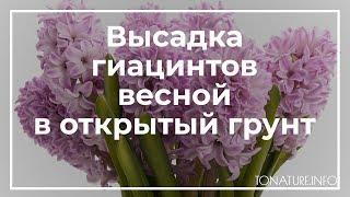 Высадка гиацинтов весной в открытый грунт | toNature.info