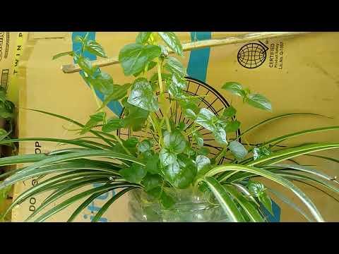 Let's plant more pansit pansitan for anti gout/pepperomia pellucida